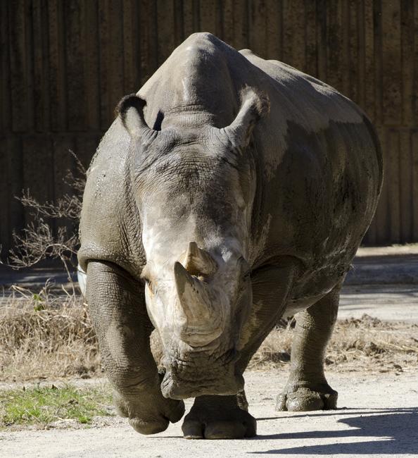 white_rhinoceros_6535.jpg