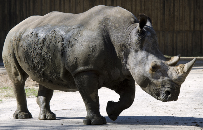 white_rhinoceros_6540.jpg