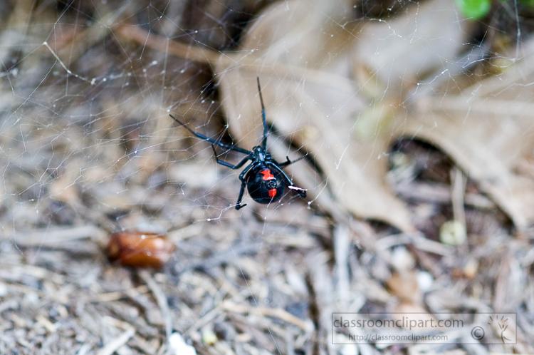 black-widow-spider-photo_086.jpg