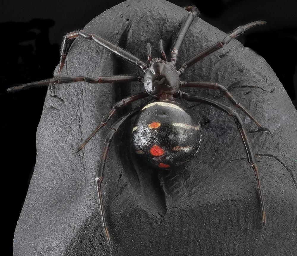 macro-top-view-black-widow.jpg