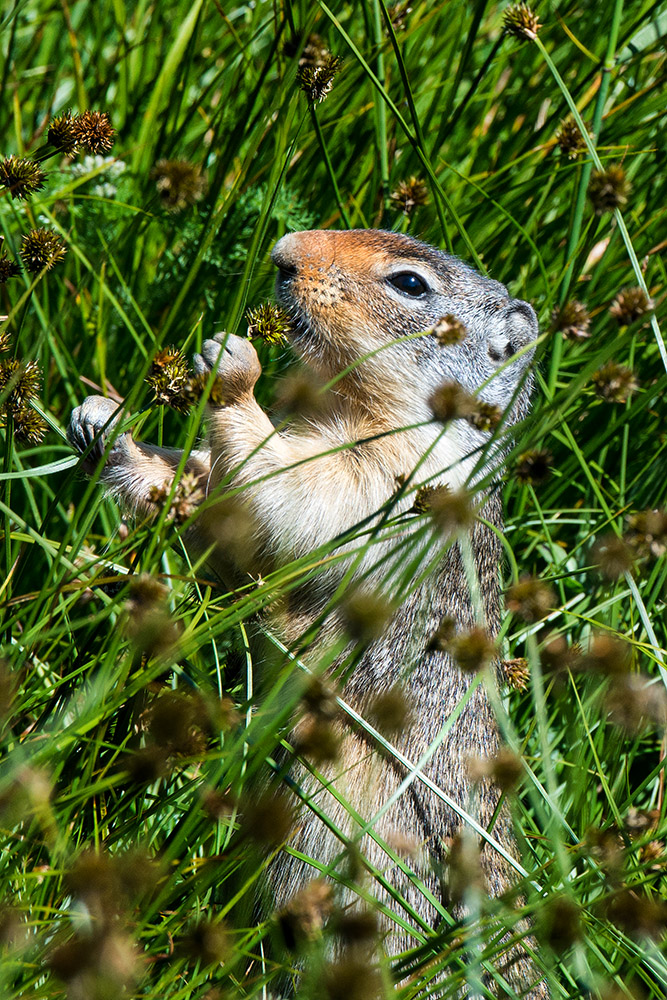 columbia-ground-squirrel--eating-seeds-from-plant.jpg