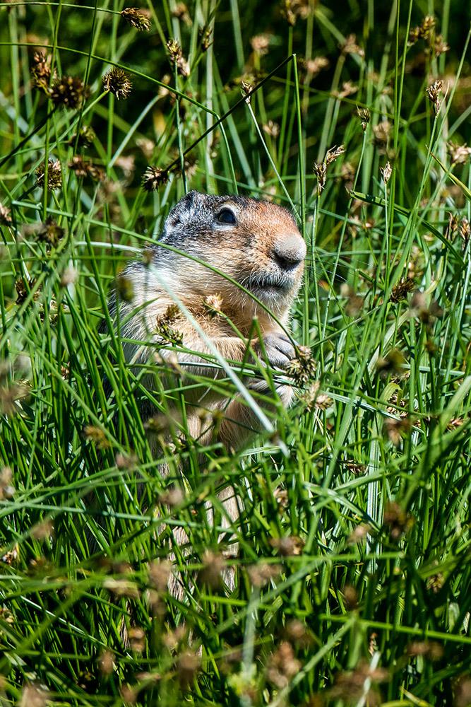 columbia-ground-squirrel-in-plants.jpg