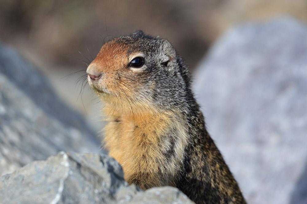 columbian-ground-squirrel-peering-from-rocks.jpg