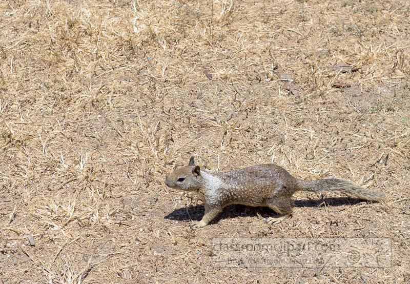 photo-california-ground-squirrel-6913.jpg