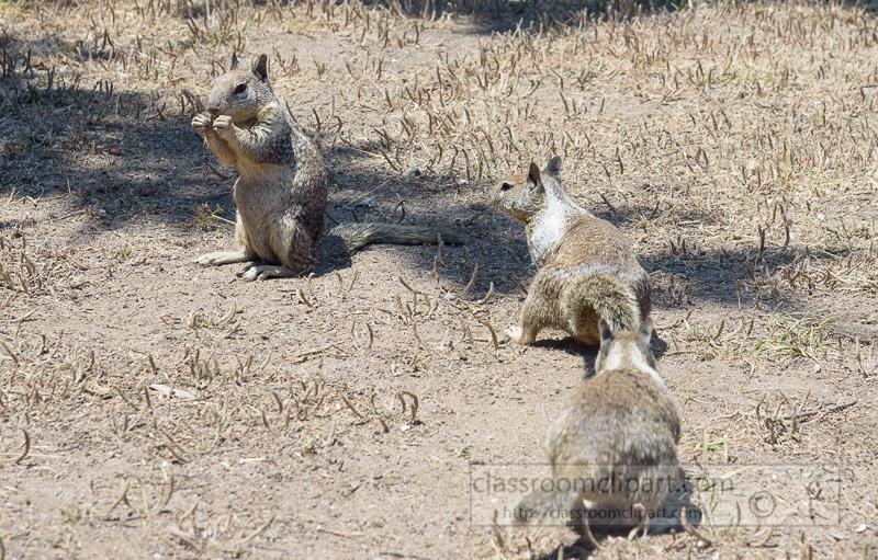 photo-california-ground-squirrel-6921.jpg