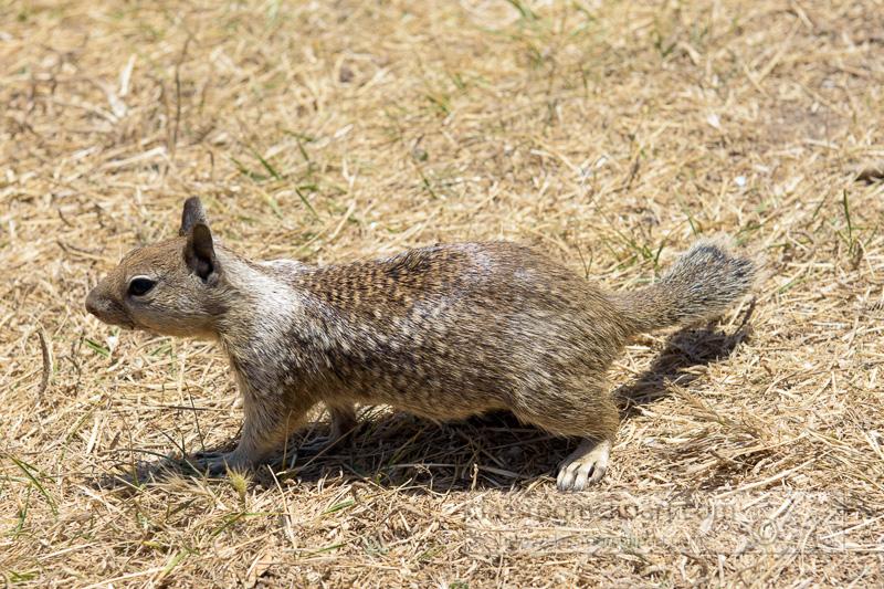 photo-california-ground-squirrel-6933.jpg