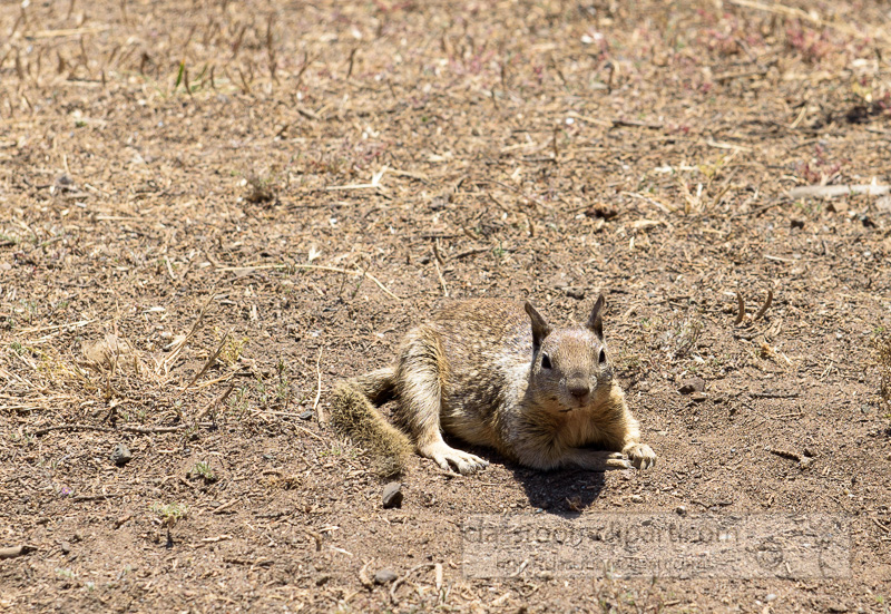 photo-california-ground-squirrel-6934.jpg