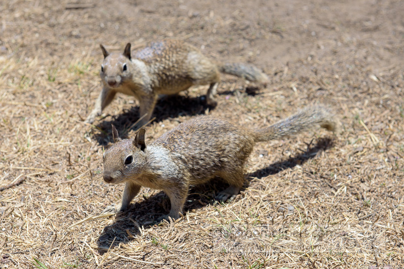 photo-two-california-ground-squirrel-6929.jpg
