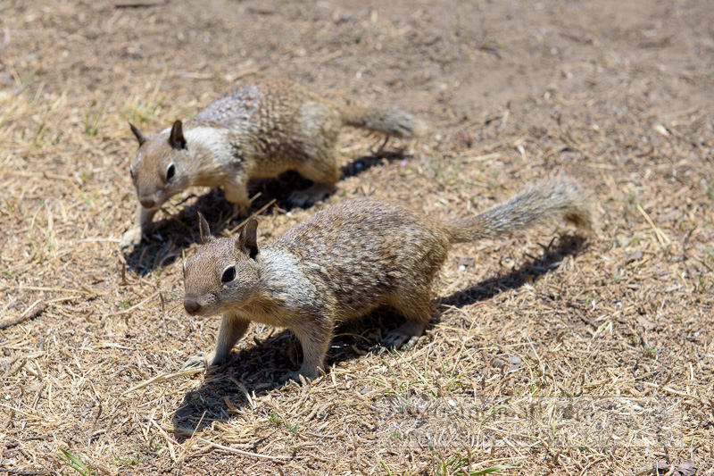 photo-two-california-ground-squirrel-6930.jpg
