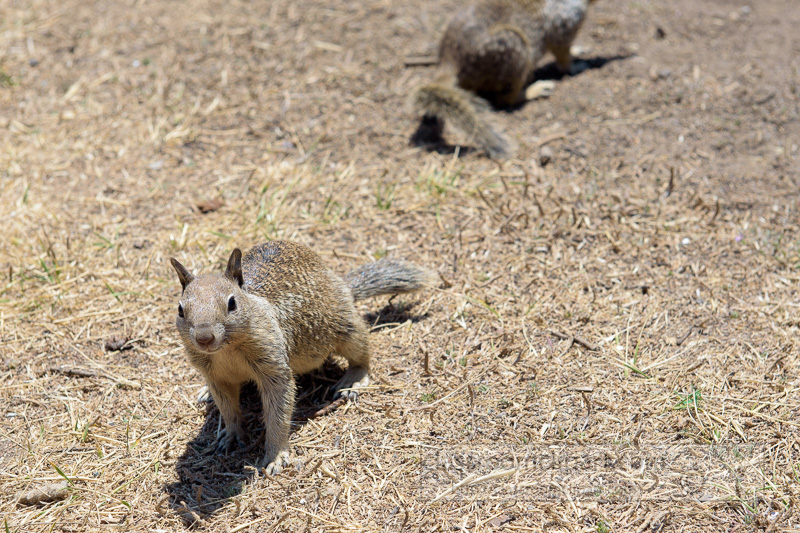 photo-two-california-ground-squirrel-6931.jpg