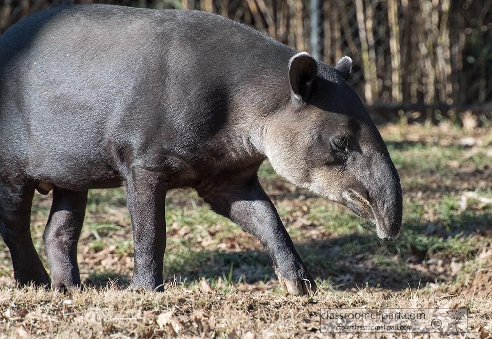 tapir-pic-image-5417.jpg