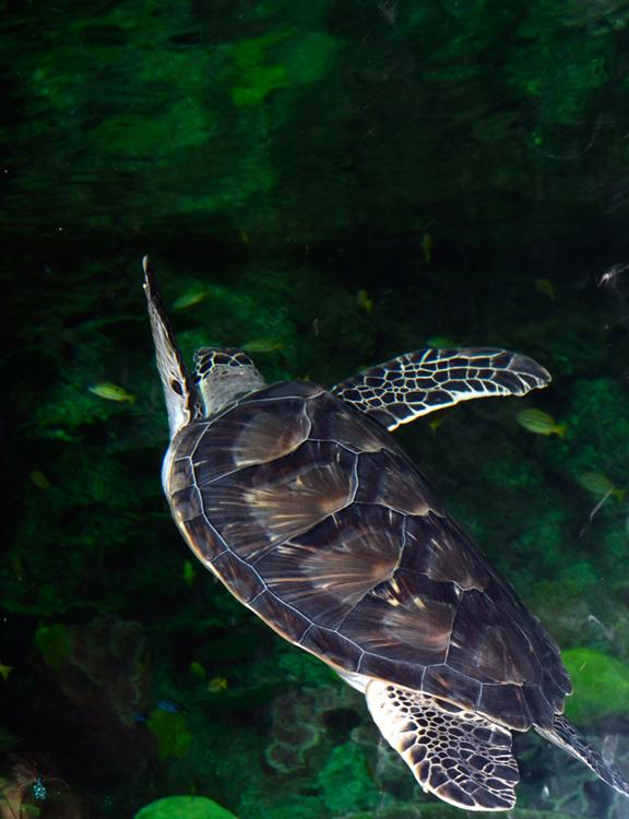 sea-turtle-0539A.jpg