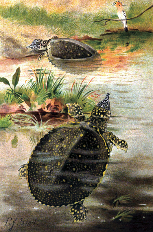 soft-shell-turtle.jpg