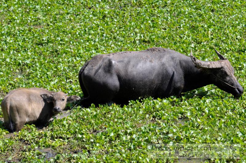 water-buffalo-cambodia_36.jpg