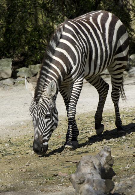 zebra_6518.jpg