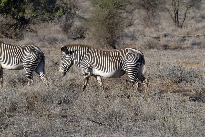 zebra_africa_04.jpg