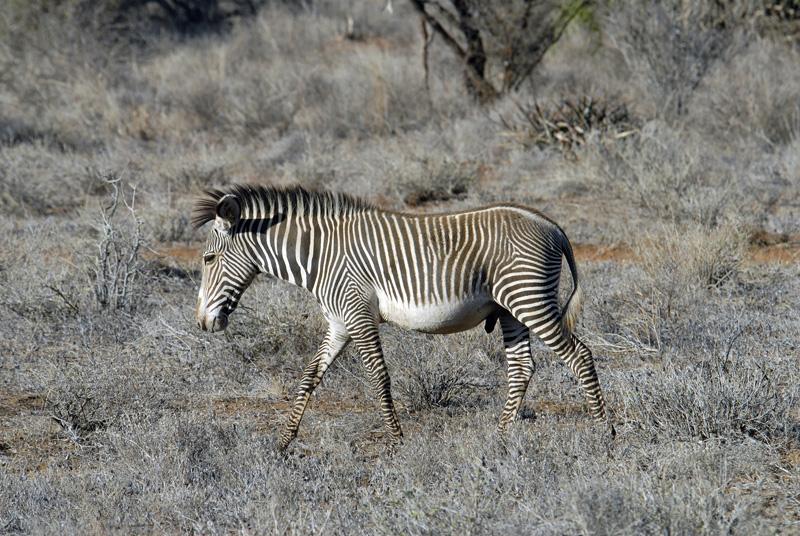zebra_africa_06.jpg