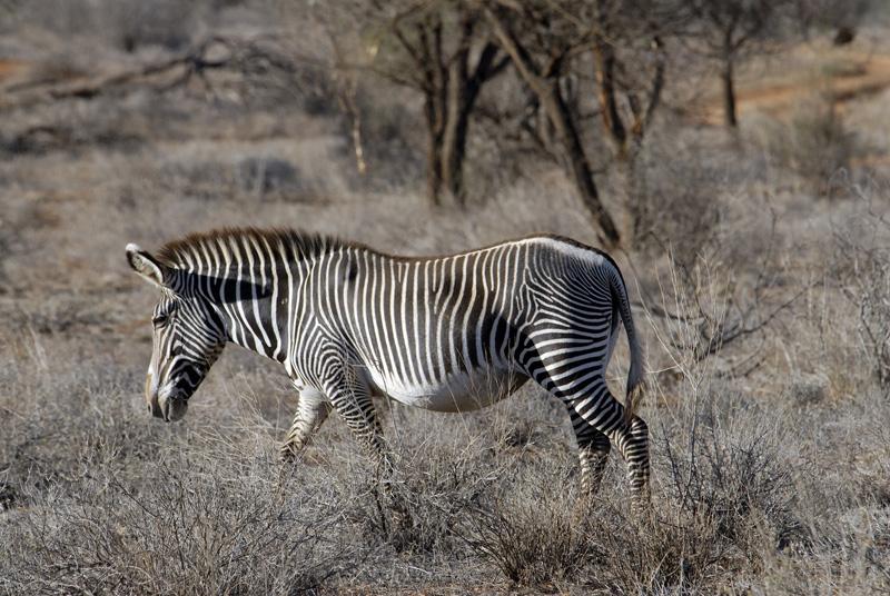 zebra_africa_10.jpg