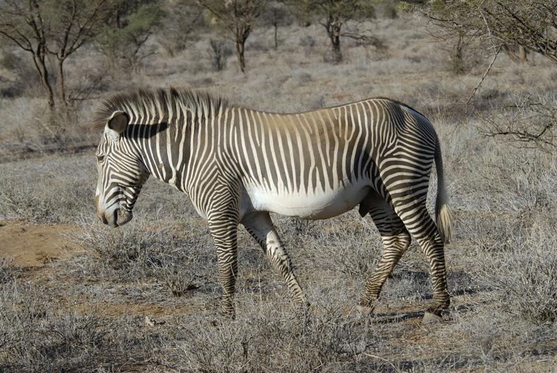 zebra_africa_12.jpg
