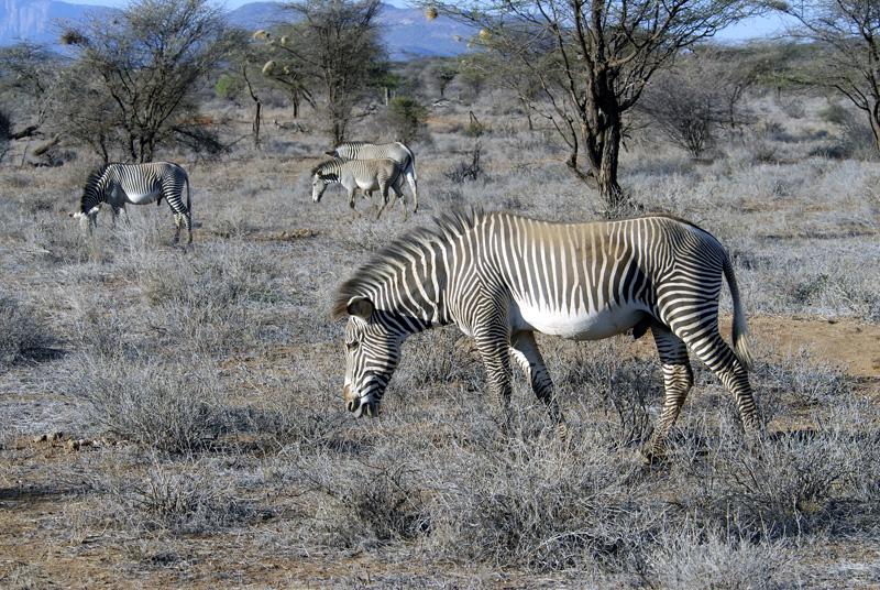 zebra_africa_14.jpg