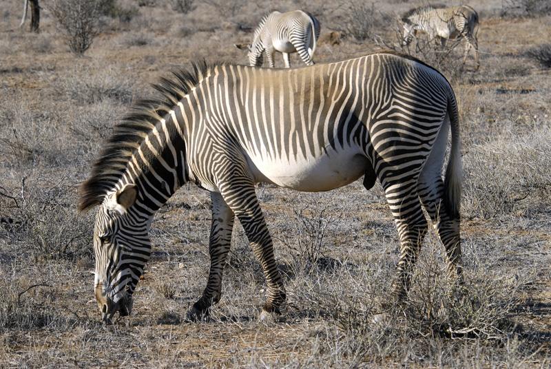 zebra_africa_16.jpg