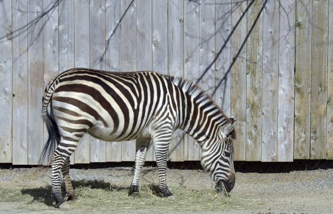 zebra_near_fence_6517A.jpg