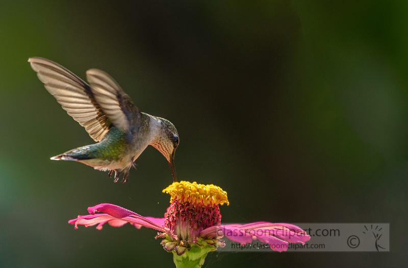 female-ruby-throated-hummingbird-feeding-flower-nectar-7932E.jpg