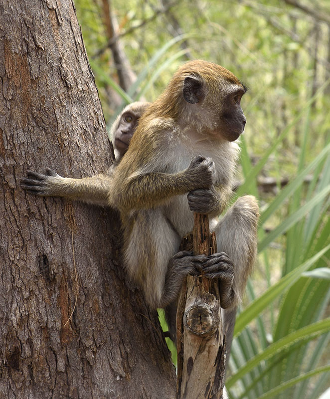 long-tail-macaques-monkey-langkawi-malaysia-photo-7490A.jpg