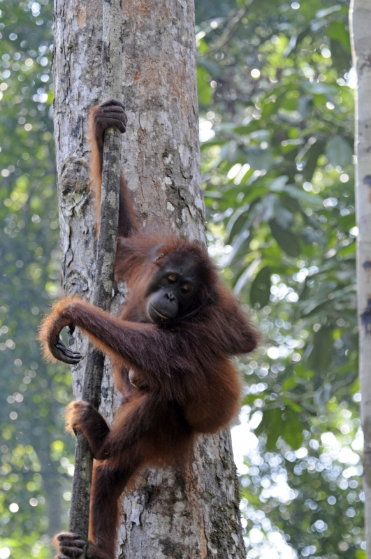 orangutan-on-tree-Borneo_1782a.jpg