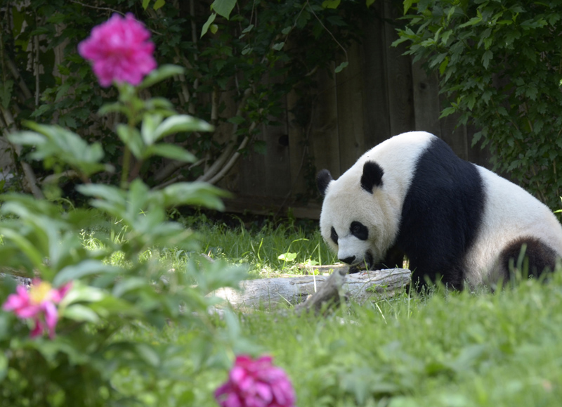 panda-bear-national-zoo-washington-WDC7350A.jpg