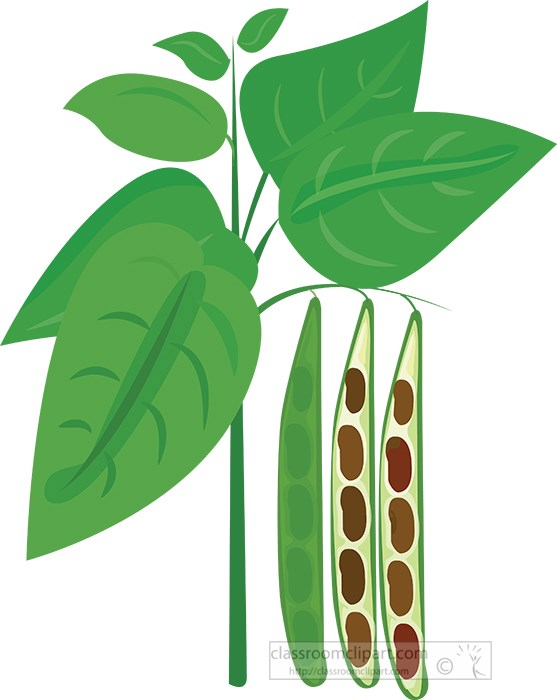 bean-plant-with--beans-growing-cross-section-clipart.jpg