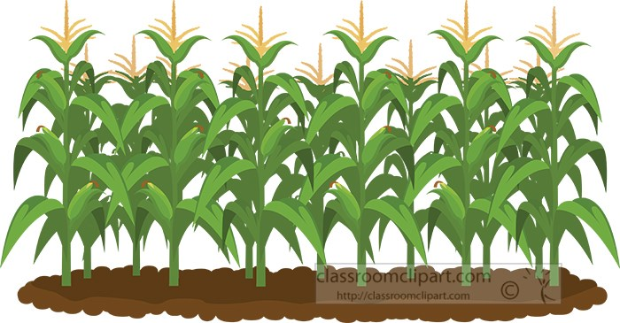 corn-field-clipart.jpg