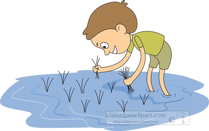 picking-rice-in-a-rice-paddy.jpg
