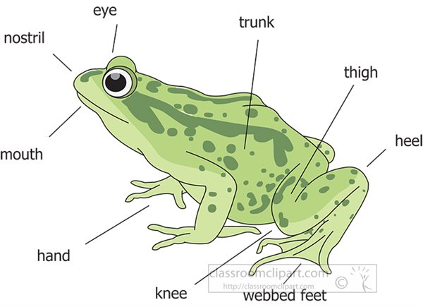 labeled-external-frog-anatomy-clipart-illustration.jpg
