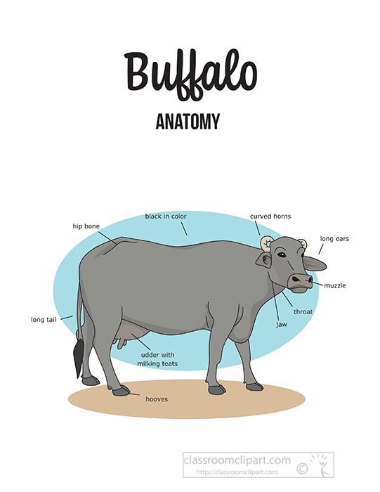 buffalo-female-external-anatomy-clipart.jpg