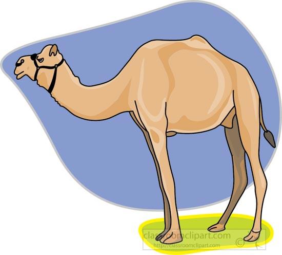 dromedary_camel_212.jpg