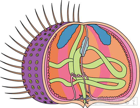 internal_anatomy_of_a_sea_urchin_without_text.jpg
