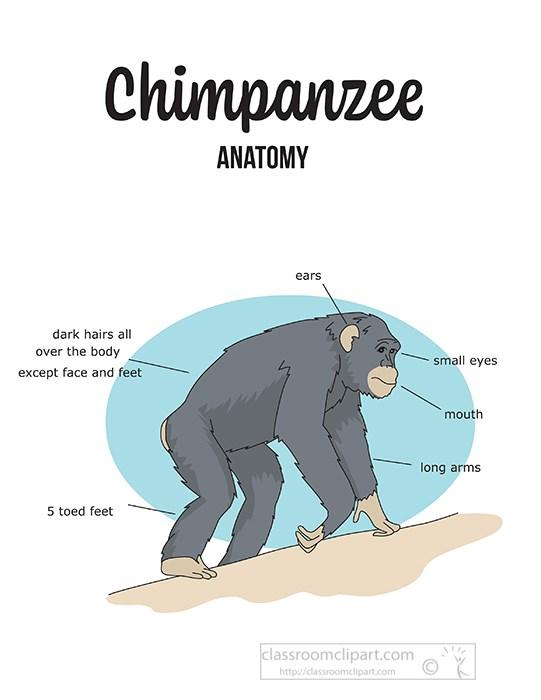 chimpanzee-external-anatomy-printout-clipart.jpg