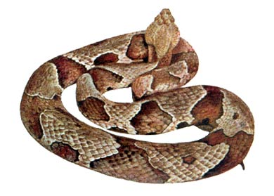 CDC_copperhead2.jpg