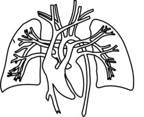 Human Lungs And Heart Royalty Free Cliparts, Vectors, And Stock  Illustration. Image 12595549.