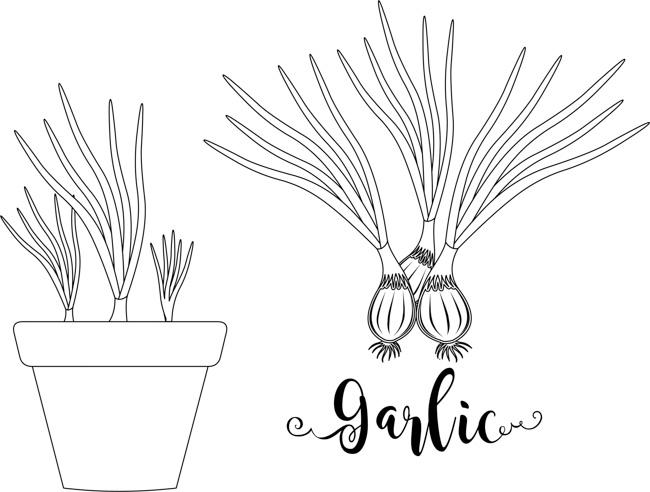 garlic-plant-garlic-in-planter-labeled-black-white-outline-clipart.jpg
