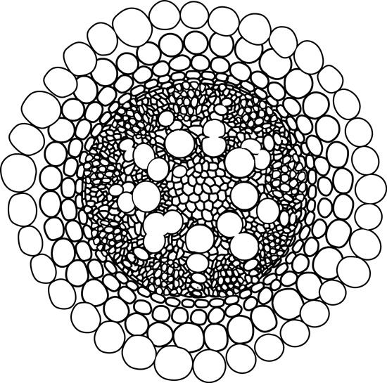 cross_section_vascular_root-sylem-phloem-outline.jpg