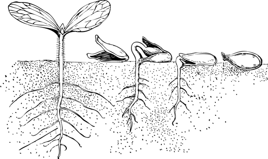 stages_of_seed_growth_illustration.jpg