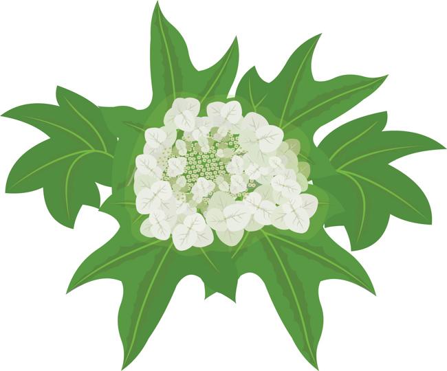 oak-leaf-hydrangea-flowers-clipart.jpg