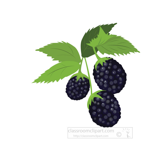 blackberry-plant-fruit-with-stem-and-leaf-vector-clipart.jpg