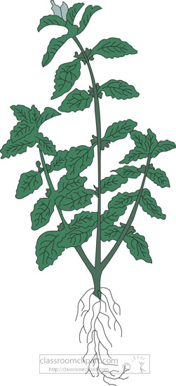 clipart-of-the-herb-horehound.jpg