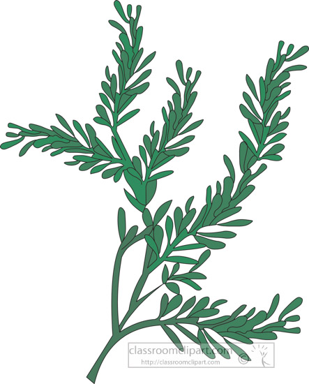 clipart-of-the-herb-southernwood.jpg