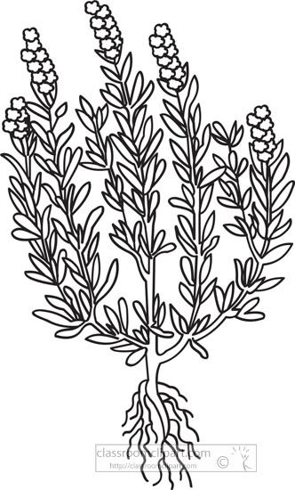 rosemary-herb-black-white-outline-clipart.jpg