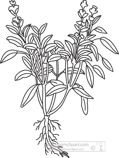 sage-herb-black-white-outline-clipart.jpg