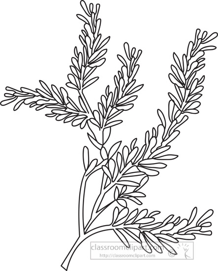 southernwood-herb-black-white-outline-clipart.jpg